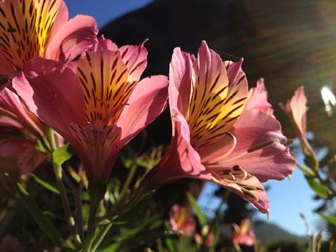 Màu sắc của những cánh hoa dưới ánh nắng.