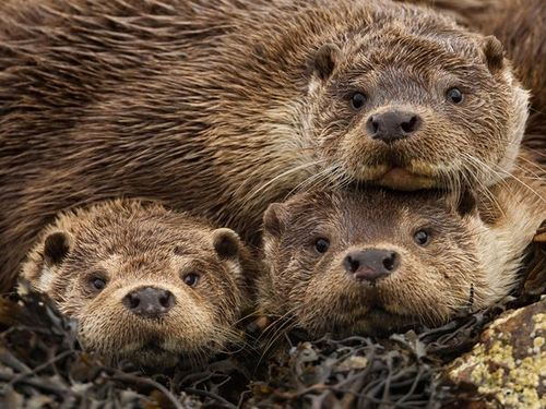 british-otters-james-62973-600x450-jpg[1