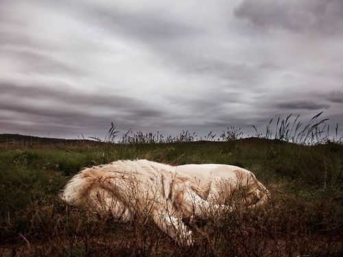 lion-sleeping-south-africa-62982-600x450