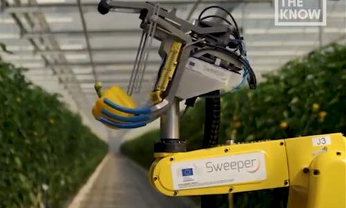 Robot thu hoạch ớt ngọt tự động